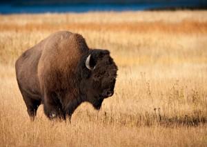 bison_26278017_1